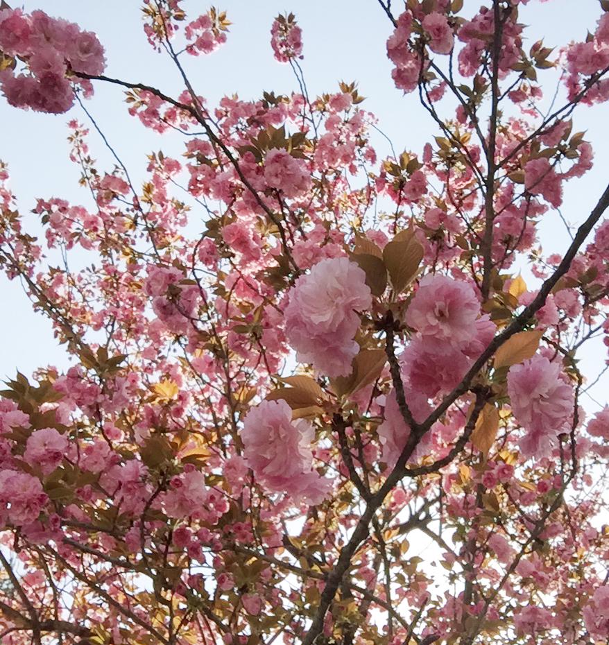 cerisiers dans la ville-3